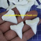 29.5-34.4 mm real Upper or Lower great white shark tooth (random, 1 piece)