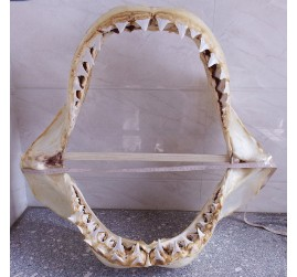 (In stock) 28.7'' Real Great White Shark Jaw Principle Upper tooth 2.192 inch