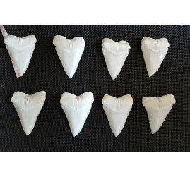 (Make to order) 60 mm+ Full Great White Shark Teeth From Same Jaw