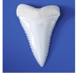29.5-34.4 mm real PRINCIPLE UPPER great white shark tooth (random,1 piece)