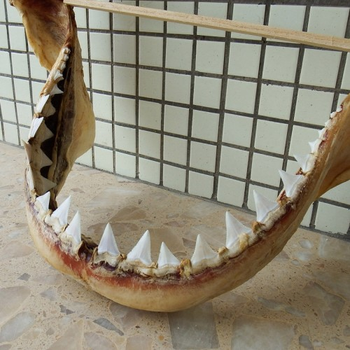 Sold)22 04'' Great White Shark Jaw Upper tooth 1 744 inch